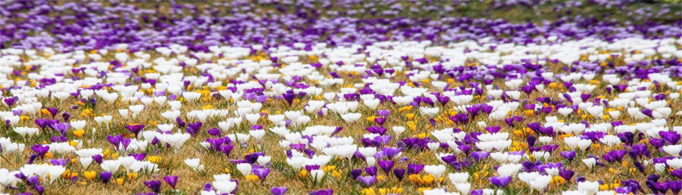 Primavera morada